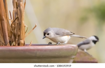 Beautiful Kentucky's tufted titmouse bird with chickadee bird bokeh background looking for food in flower vase Nature photography 2018