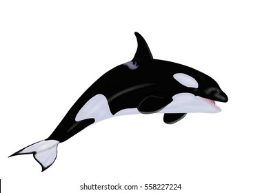 A beautiful Killer whale (Orcinus orca) illustrated by Steven Russell Smith isolated on a white background.