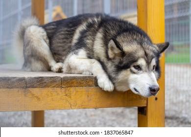 A beautiful and kind Alaskan Malamute shepherd sits in an enclosure