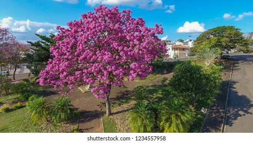 A beautiful kind of ipe tree, in Minas Gerais, Brazil