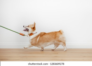 Beautiful, kind, well-groomed and young red dog Welsh Corgi Pembroke in an orange collar on a green leash goes along the white wall on the wooden floor.
