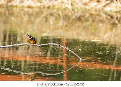 A beautiful kingfisher that stops on twigs and stones and looks for food