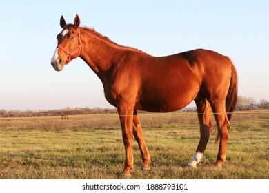 Beautiful kisberi felver horse grazing on the hungarian puszta at sunset golden hour