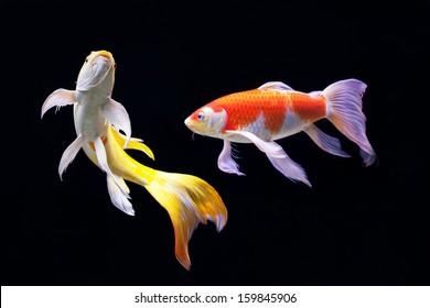 beautiful koi carp swimming in a pond