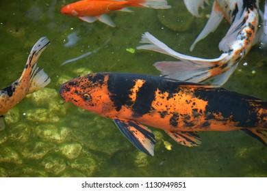 Beautiful Koi Fish Pond.