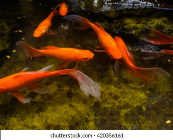 beautiful koi fish swimming in the pond.select focus and focus blur