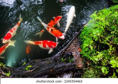 Beautiful koi fish in the water.
