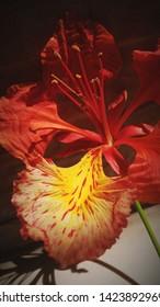 """beautiful """"Krishno chura""""(Bengali word) Flower"""