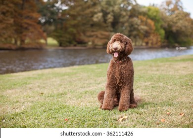 Beautiful Labradoodle Standing by River with Autumn Trees in Background