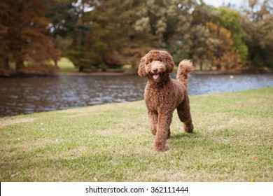 Chocolate Labradoodle Images Stock Photos Vectors Shutterstock