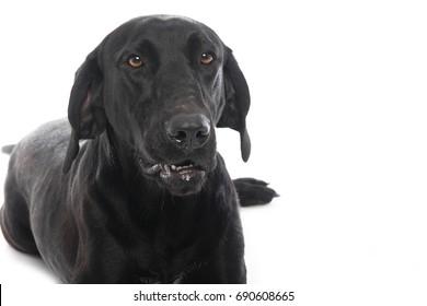 Beautiful labrador