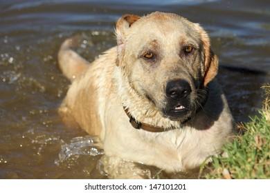 Beautiful Labrador dog swimming in lake