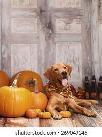 Beautiful Labrador retriever lying next to some pumpkins and gourds.  Room for your text.