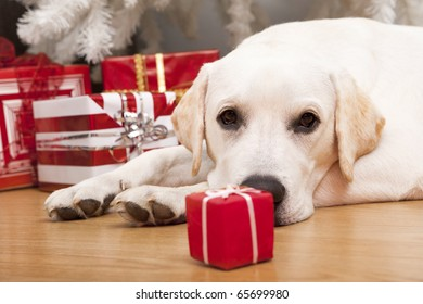 Beautiful Labrador retriever on Christmas day lying on the floor