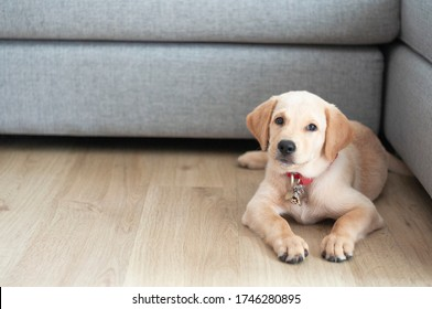Beautiful Labrador Retriever Puppy sitting on laminate wood background. Labrador Retriever Portrait playing in living room. Happy Labrador Retriever waitting in living room. Cute puppy dog.