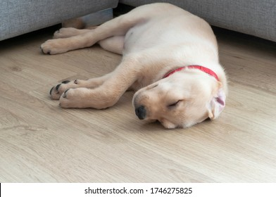 Beautiful Labrador Retriever Puppy sleeping on laminate wood background. Labrador Retriever Portrait playing in living room. Happy Labrador Retriever sleep in living room. Cute puppy dog.