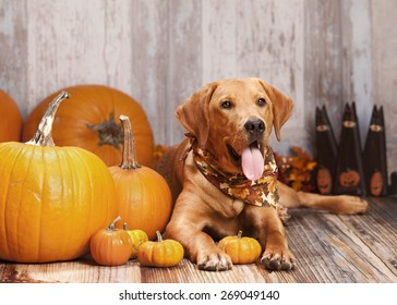 Beautiful Labrador retriever sitting next to some pumpkins and gourds.  Room for your text.