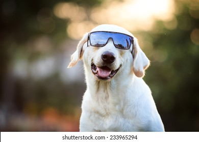 Beautiful Labrador Retriever wearing the sun glasses close up background.