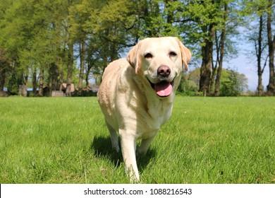 beautiful labrador is walking in the garden
