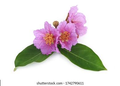 Beautiful Lagerstroemia speciosa, Giant Crape-myrtle, Queen 's Crape-myrtle, Pride of India, Queen 's flower flower (queen's flower) isolated on white background