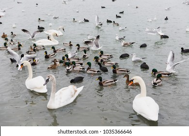 A beautiful lake house for birds. Elegant white swans with black-orange beaks and multicolored gray and green small wild ducks swim in large clear undulating pond. World of nature, environmental.