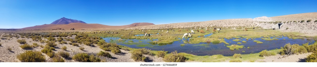 Beautiful lamas in the Andes in South America. Lakes and mountains landscape.