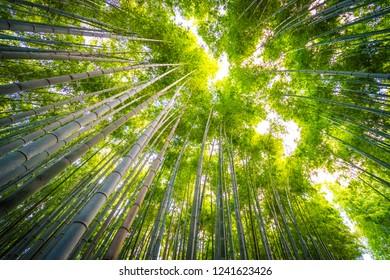 Beautiful landscape of bamboo grove in the forest at Arashiyama Kyoto Japan