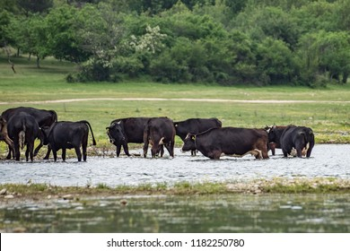 Beautiful landscape, big herd of cows and neats cattle livestock (Artiodactyla, Bovinae, Bos taurus, Ruminanta) drinking water in the lake. Rural natural scene, greenery by the water. Stockbreeding.