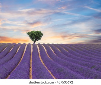 Beautiful landscape of blooming lavender field in sunset, lonely tree uphill on horizon. Provence, France, Europe.