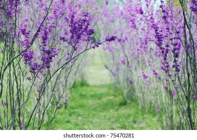beautiful landscape with blooming redbud