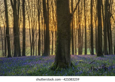 Beautiful landscape of bluebell forest in Spring in English countryside