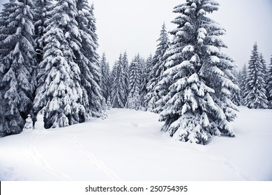 Beautiful landscape of the boreal forest on a cold winter day with coniferous trees covered with snow.