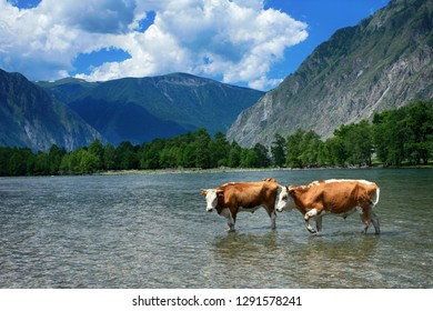 Beautiful landscape with bulls in the water in the Valley Chulyshman. Altai Republic, Russia