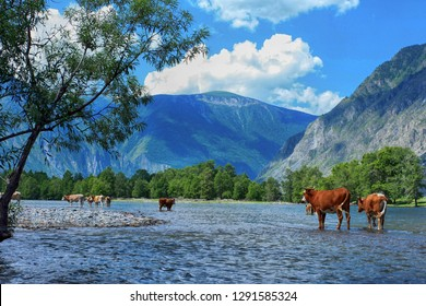 Beautiful landscape with bulls in the water in the valley of the river Chulyshman on the background of mountains. Altai Republic, Russia