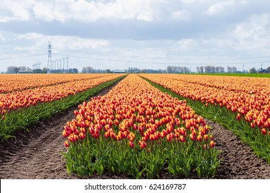 Beautiful landscape of colorful blooming tulip flower field with blue sky clouds background, Flevoland Netherlands countryside.