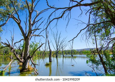 A beautiful landscape of dead trees in shallow lake at Wonga wetlands, Albury, New South Wales.