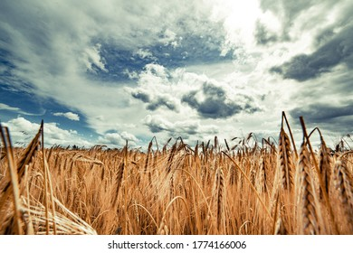 Beautiful landscape with field of ripe rye and blue summer sky. - Shutterstock ID 1774166006