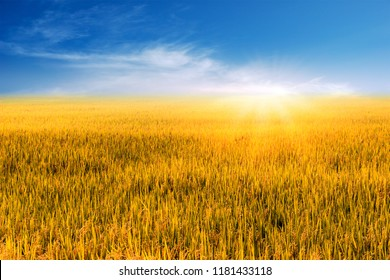 Beautiful Landscape of golden rice field or paddy field with blue sky and cloud in bright day time landscape on background.