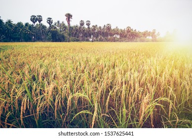 Beautiful landscape golden sunlight on rice field at sunset, Paddy plant with yellow stalk ripe ear of rice, Time to harvest on farm and agriculture in Thailand, Vintage nature style for background