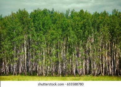 Beautiful landscape grows in middle zone of Russia favorite tree Berezka - birch (Betula alba), birchwood and meadow woodside