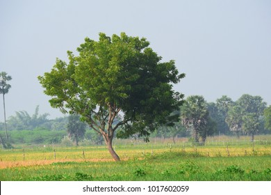 beautiful landscape of an isolated neem tree in a agricultural land