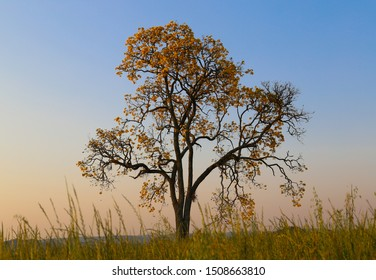 Beautiful landscape with an isolated yellow ipe tree in a plantation field with colorful sunset sky. Handroanthus albus.