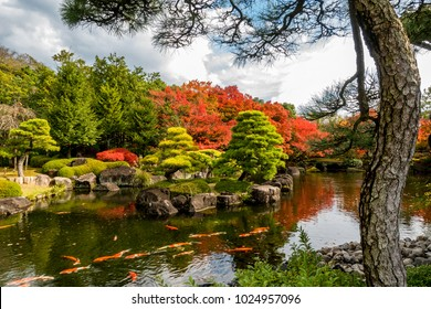 Beautiful landscape in Japanese garden, have many Koi fish swimming in pond and maple tree around with pine tree
