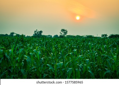Beautiful landscape of jowar (sorghum bicolor) field at sunset.  Beautiful Agriculture background.