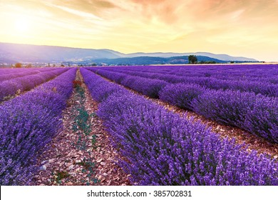 Beautiful landscape of lavender fields at sunset near Sault, Provence-France