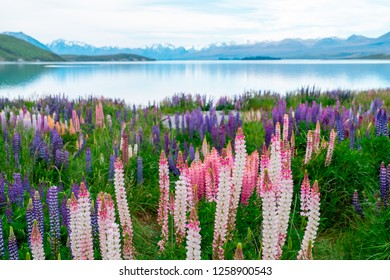 Beautiful landscape of Lupins flower and Alpine mountains around Lake Tekapo area, New Zealand.