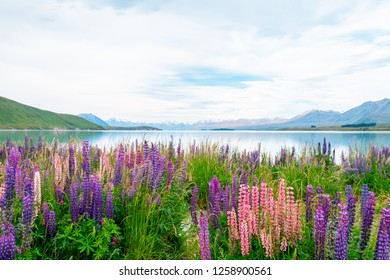 Beautiful landscape of Lupins flower and Alpine mountains around Lake Tekapo area, New Zealand.