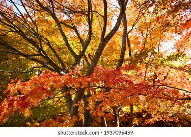 Beautiful landscape Mountain Fuji in japan, Lake Kawaguchiko size of Fuji,white top , Autumn in garden, fall in the mountain.