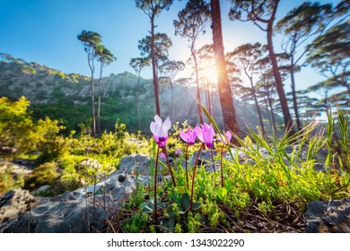 Beautiful landscape of a mountainous cedar forest, first spring wildflowers in bright sun light, beauty of wild nature, Lebanon