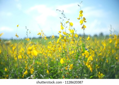 Beautiful landscape Natural yellow blossom field background of beautiful sun hemp or crotalaria Juncea, known as sunn hemp, Madras hemp or brown hemp, With mountain and could on blue sky